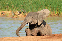Speelse Afrikaanse olifant Stock Afbeelding