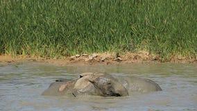 Speelse Afrikaanse olifanten Stock Foto's