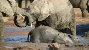 Speelse Afrikaanse olifantskalveren stock videobeelden