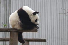Speelse Babypanda in China royalty-vrije stock foto's