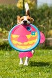 Speelse Brakhond die met ronde kleurrijke vissen zoals stuk speelgoed lopen stock foto's
