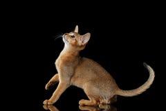 Speelse die Abyssinian Kitten Looking omhoog op zwarte achtergrond wordt geïsoleerd royalty-vrije stock afbeeldingen