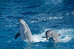 Speelse dolfijnen Stock Afbeelding