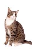 Speelse gestreepte katkat op wit Stock Fotografie