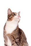 Speelse gestreepte katkat op wit Stock Foto