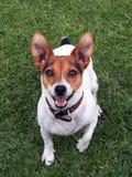Speelse hefboom russel hond die u bekijkt Stock Afbeeldingen