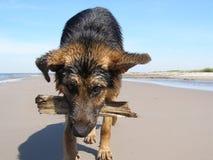 Speelse hond Stock Afbeelding