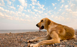 Speelse Hond op het Strand Royalty-vrije Stock Foto