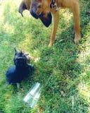 Speelse honden Stock Afbeelding