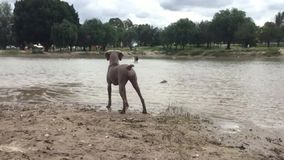 Speelse honden stock footage