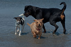 3 speelse honden op strand 1 Royalty-vrije Stock Foto's