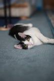 Speelse housecat Royalty-vrije Stock Fotografie