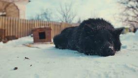 Speelse jonge bastaarde hond op ketting in sneeuw kennel stock footage