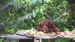 Speelse Jonge Orangoetan die bij het Voeden van Post eten stock footage