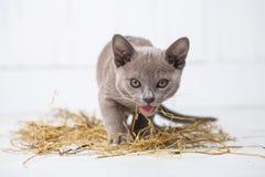 speelse kat in het stro op een witte houten vloersprongen, jachten, tribunes op zijn achterste benen T Stock Foto