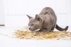 speelse kat in het stro op een witte houten vloersprongen, jachten, tribunes op zijn achterste benen T Royalty-vrije Stock Fotografie