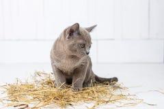 speelse kat in het stro op een witte houten vloersprongen, jachten, tribunes op zijn achterste benen T Stock Fotografie