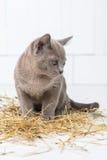 speelse kat in het stro op een witte houten vloersprongen, jachten, tribunes op zijn achterste benen T Stock Foto's