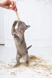 speelse kat in het stro op een witte houten vloersprongen, jachten, tribunes op zijn achterste benen T Stock Afbeeldingen