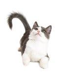 Speelse Kitten Laying Looking Up Royalty-vrije Stock Fotografie