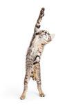 Speelse Kitten Standing Reaching One Paw royalty-vrije stock foto's
