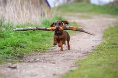 Speelse kleine bruine tekkel die in het hout op een zandige weg lopen en een grote tak voor pret terugwinnen stock afbeelding