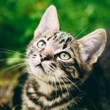 Speelse Leuke Tabby Gray Cat Kitten Pussycat royalty-vrije stock fotografie