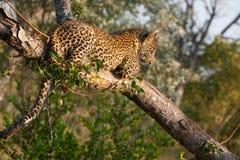 Speelse luipaardwelp in een boom Royalty-vrije Stock Afbeeldingen