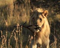 Speelse mannelijke leeuw dragende stok Stock Afbeeldingen