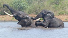 2 speelse olifanten die zich op twee benen bovenop elkaar bevinden die samen baden stock afbeelding
