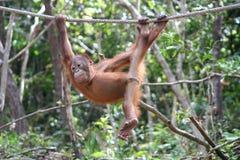 Speelse Orangoetan Royalty-vrije Stock Afbeeldingen