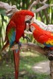 Speelse papegaaien Royalty-vrije Stock Fotografie