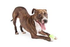Speelse Pit Bull Dog Wth Ball-Stokvoering stock afbeelding