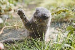 Speelse Schotse Vouwenkat in de yard stock foto's