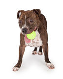 Speelse Staffordshire Bull terrier Hond met Tennisbal Stock Foto