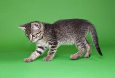 Speelse Tabby Cat Cutout royalty-vrije stock foto's