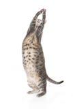Speelse zwaarlijvige tabby kat Stock Foto's