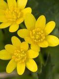 Speenkruid, Lesser glistnik, Ranunculus ficaria obrazy stock