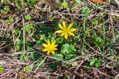 speenkruid 2 of speenkruidverna van Ficaria, vroeger Ranunculus bloemen royalty-vrije stock fotografie