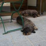 speeping在商店前面的一把椅子下的两条狗 库存图片