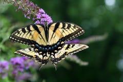 Spegelbild: par av kvinnligTiger Swallowtail fjärilar matar tillsammans arkivfoto