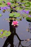 Spegelförsedd lilja Arkivbilder