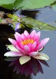 Spegelförsedd lilja Royaltyfri Foto