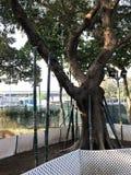 Speichern Sie den alten Baum, indem Sie Wurzelführen Lizenzfreie Stockfotos