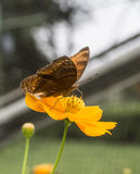 Speichern Sie kleinen braunen Schmetterling der Download-Vorschau auf einer gelben Blume im schönen Indonesien-Miniatur-Park Stockfotografie