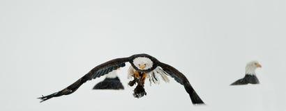 Speicherung der kahlen Adler (Haliaeetus leucocephalus) Stockbild
