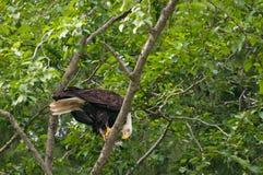 Speicherung des kahlen Adlers Stockfotografie