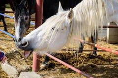 Speicherung des wei?en Pferds lizenzfreies stockfoto