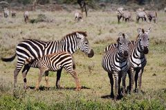 Speicherung eines Fohlens eines Zebra. Stockfoto
