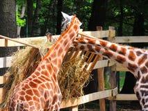 Speicherung mit zwei Giraffen Stockfotos